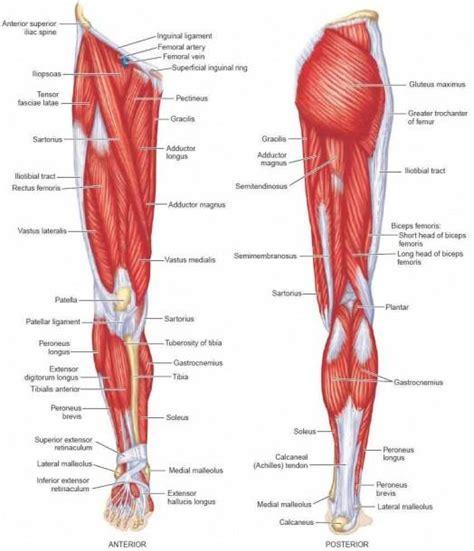 Human muscle system, the muscles of the human body that work the skeletal system, that are under voluntary control, and that are concerned with the following sections provide a basic framework for the understanding of gross human muscular anatomy, with descriptions of the large muscle groups. Leg Muscles Diagram Labeled And Leg Muscle Names Diagram ...