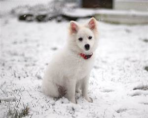 American Eskimo Dog Size