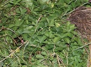 Unkraut Im Rasen Bestimmen : wie hei t dieses unkraut fingerkraut pflanzenbestimmung pflanzensuche green24 hilfe ~ Frokenaadalensverden.com Haus und Dekorationen