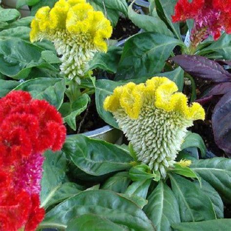 celosia cristata nana dwarf mixed appx  seeds  gramme  pjpg