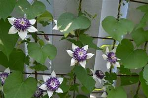 This Week in the Gardens: Clematis (Jun 22) | Wave Hill Blog