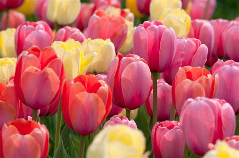 tulip bulbs item 1272 sorbetto for sale