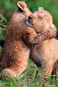 The Wild Hug : 17 best images about animals hugging on pinterest friendship lion cub and puppys ~ Eleganceandgraceweddings.com Haus und Dekorationen