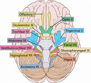 Structure And Function Of The Cranial Nerves In El Paso