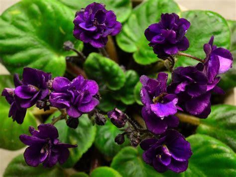 Semi Miniature African Violet
