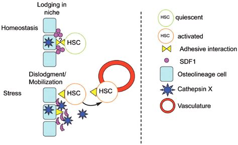 Regulating Traffic In The Hematopoietic Stem Cell Niche