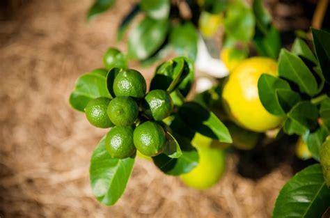 citrus salad tree trees bear rich fruit camden haven courier