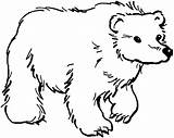 Bear Coloring Pages Grizzly Wildlife Animals sketch template