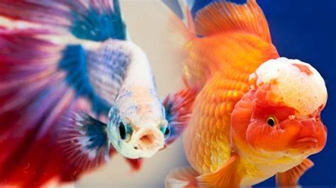 Ikan Cupang Hias Tercantik gambar ikan cupang hias tercantik
