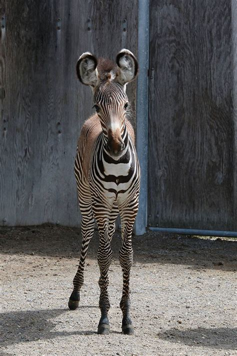 baby zebra  latest sensation   toronto zoo