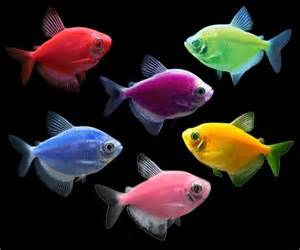GloFish Tetra Fish Colors