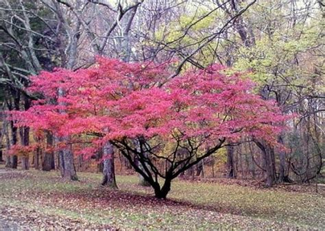 best ornamental trees ornamental trees archives candysdirt com