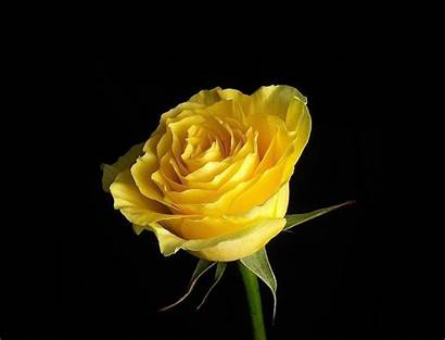 Yellow Rose Seo Wallpapers Tags