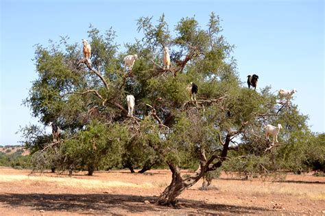 goats trees climb hanging hell these boards camels beach