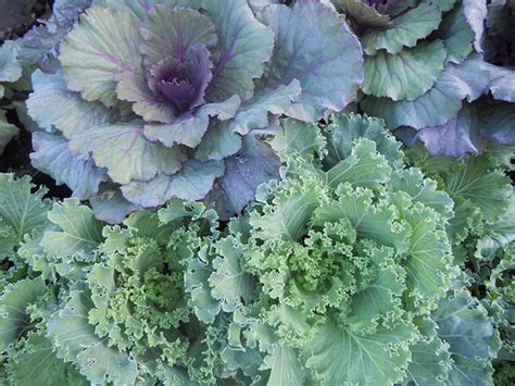 decorative cabbage and kale ornamental cabbage and kale flickr photo sharing