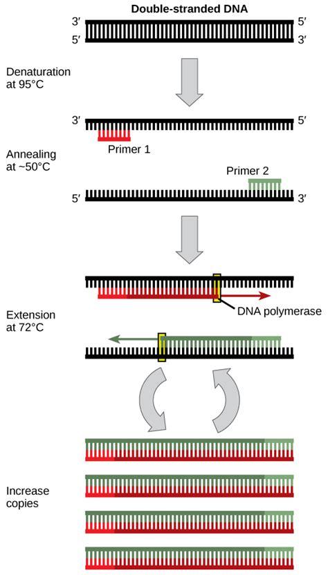 cloning  genetic engineering concepts  biology
