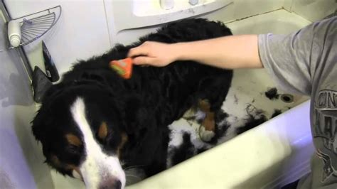 grooming  bernese mountain dog youtube