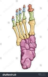 Human Foot Bone Anatomy