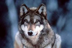 1000+ images about My wolamute on Pinterest | We, Safe ...