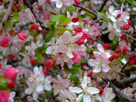 arbustes à fleurs quels arbustes fleurissent en avril