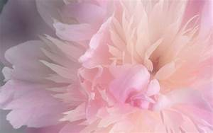 Peonies Wallpapers