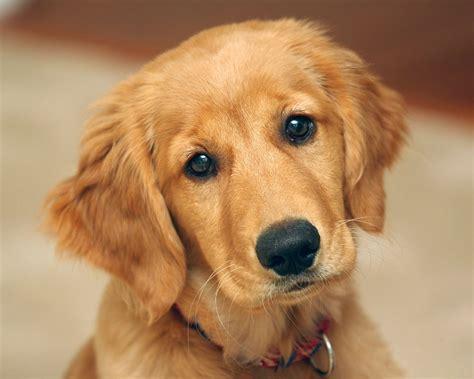 Cute Golden Retriever Puppy Animals Baby Animals Dogs