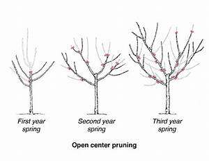 Diagram Showing Three Trees In Stages Of Open Center