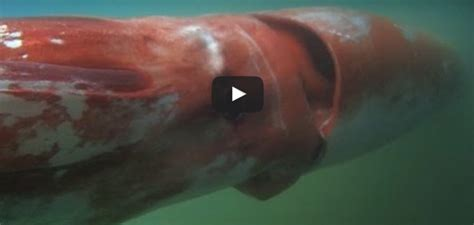 giant squid filmed  shallow water  japan wetpixelcom