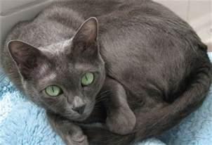 gray cat breeds cafechoo image grey cat breeds