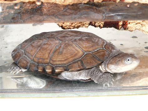 le chauffante pour tortue pelomedusa 28 images reproduction de ma pelusios castaneus