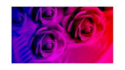 Roses Purple Bright Wallpapers Creative Desktop