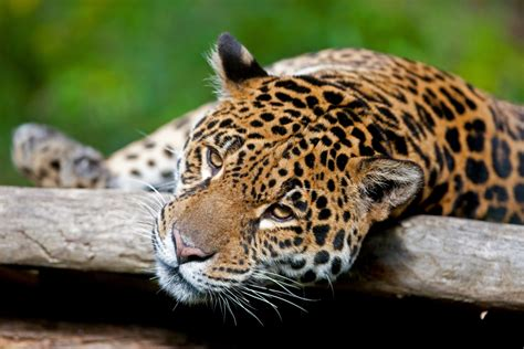 How Are Jaguars Endangered by Jaguar By Pal Teravagimov