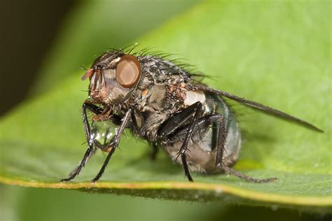 file flesh fly concentrating food jpg wikimedia commons