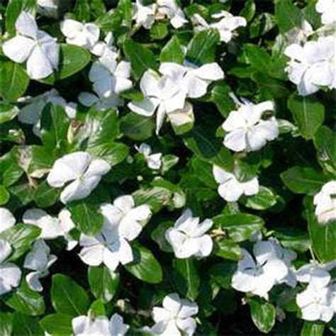 ground cover with white flowers periwinkle seeds vinca rosea white ground cover seed
