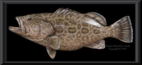 grouper replica fish taxidermy mount replicas mounts spotted seatrout skin inch reproductions wall taxidermist