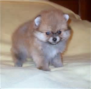 Toy Pomeranian Puppies Sale