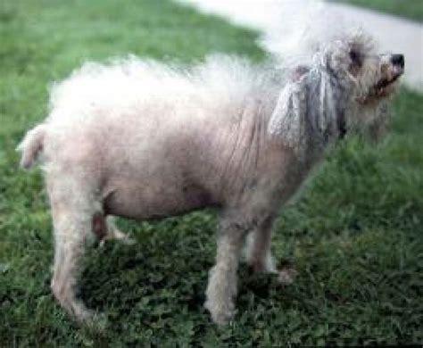 hyperadrenocorticism  cushings disease  dogs  bark