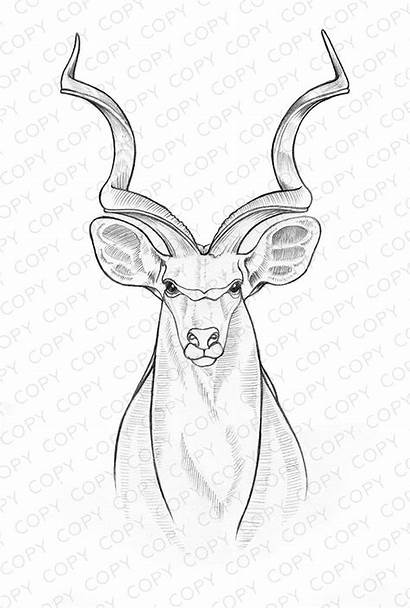 Kudu Drawing Sketch Sketches Ashley Coloring Pages