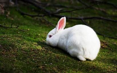 Rabbit Rabbits Wallpapers Desktop Backgrounds Pets Nature