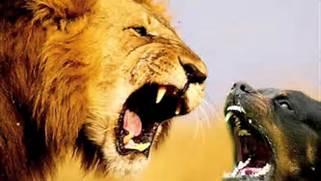 Rottweiler Attack Lion...