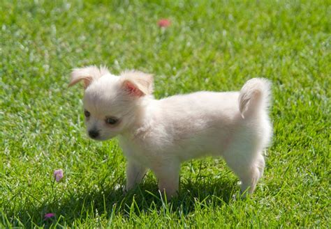 top  toy dog breeds  apartment living  india