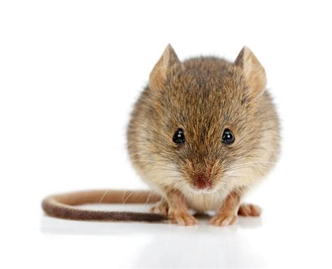 pictures of mice animal friendly ways to get rid of mice safebee