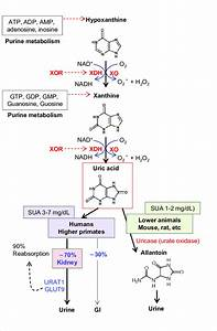 Uric Acid Production And Removal In Humans And Mice