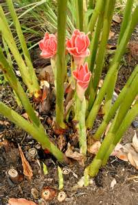 Le Culture Plante by Gingembre Planter Et Cultiver Ooreka