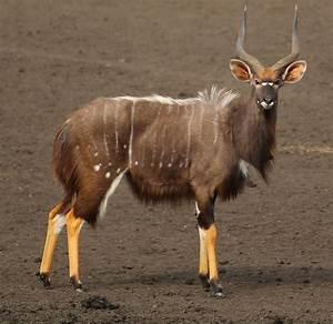 Afrikan Antilope : nyala wikipedia ~ A.2002-acura-tl-radio.info Haus und Dekorationen