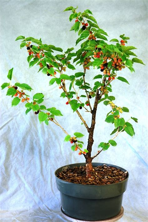 mulberry tree planting growing mulberry in containers how to grow mulberry tree