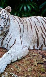 White Tiger Photo, Hd, Sitting, Tiger, Wallpaper, White ...