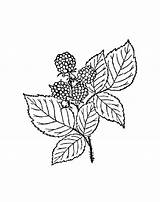 Berries Coloring Pages sketch template