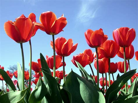Tulip Image Desktop 2 by Wallpaper Tulips Wallpapers