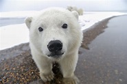 「北極有北極熊」非必然!極地霸主面臨困境|當這地球沒有牠 - Yahoo 新聞